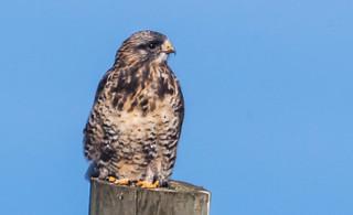 IMG_1489 Rough Legged Hawk at Tantramar Marsh