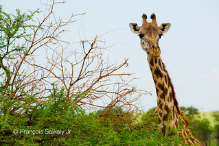 Masai giraffe in Serengeti National Park - Tanzania