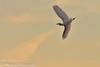 Aerobatic Cattle Egret (BobHartmannPhotography) Tags: 500pxb landscape bobhartmannphotography audobon bobhartmanncom bobhartmann wildlife wwwbobhartmanncom c2017bobhartmann everglades 365 1365 wl bobhartmannphotographer birds fl usa