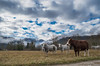 Cows (Marc Andreu) Tags: vache animal nature prairie eglise village oust mane light lumiére outdoor extérieur country cow horn corne bovin paysage champ meadow arbre tree troupeau herd agriculture grass herbe rural campagne countryside ciel nuages field boeuf beef