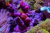 AAC Soft Coral Display (ct_purley) Tags: canon 5d mark iv aac advanced aquarium consultancy reef tank saltwater corals sps small polyped stony zoa coral