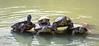 Circus turtles (patrickdunse) Tags: 6d 70300mm america amerika animals bigapple canon canon6d canoneos6d centralpark eos east lake manhattan ny nyc natur nature newyork newyorkcity osten reptiles schildkröten see tamron tamronaf70300mm456dispvcusd tele telelens teleobjektiv tiere turtles usa unitedstates water wasser