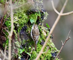Tree Creeper _ Taken on the old Tram Road between Hirwaun and Penderyn, Rhondda Cynon Taf, South Wales. UK (Ian J Hicks) Tags: