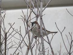 House Sparrow (D. S. Hałas) Tags: halas hałas unitedstates usa newyork newyorkcounty newyorkcity manhattan museum metropolitanmuseumofart themet artgallery chordata sarcopterygii aves passeriformes passeridae passerdomesticus housesparrow sparrow bird uppereastside