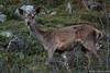 Biche - Deer (Nicolas Rouffiac) Tags: animal animals animaux free freedom nature libre liberté wild wildlife sauvage deer biche