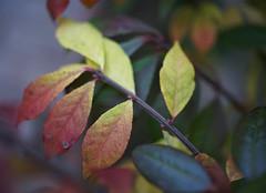 DSC07212 (Old Lenses New Camera) Tags: sony a7r olympus zuiko macro automacro 50mm f2 plants garden leaves azalea autumn