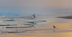 DSC_7955.jpg (David Hamments) Tags: childplayingonthebeach nelsonbay silhouette sunset seagull nsw