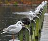 The Odd One (Vide Cor Meum Images) Tags: mac010665yahoocouk markcoleman markandrewcoleman vide videcormeumimages cor meum hyde park london england english serpentine lake seagull coot rain birds bird