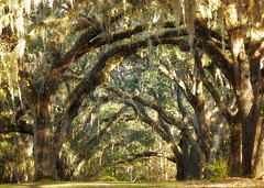 Reaching out... when you least expect it, a friend is always there. (Ferb's Pics) Tags: oak trees lake griffin state park florida spanish moss
