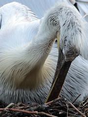 dalmatian pelican Blijdorp BB2A6719 (j.a.kok) Tags: pelikaan pelican kroeskoppelikaan dalmationpelican vogel pelikaankuiken kuiken pelicanchick bird blijdorp