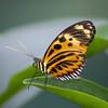 Eueides isabella (Ouwesok) Tags: sonysltalfa58 voigtländerultron4567100400mm eueidesisabella vlinder vlindertuin burgersmangrove insect