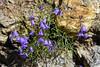 Jackson Hole 1707-1238.jpg (DevonshireMedia) Tags: wyoming jacksonhole travel 2017 grandtetons tetons mountainplants plants flowers