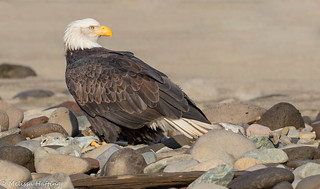 Bald Eagle (Haliaeetus leucocephalus) - Brackendale, BC