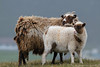 Shetland sheep - ewe and lamb (Kees Waterlander) Tags: verenigdkoninkrijk shetland schapen greatbritain grootbrittannië sheep uk scotland unitedkingdom gb