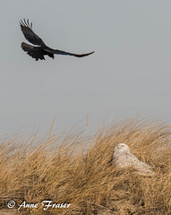 Crow meets Snowy Owl (Anne Marie Fraser) Tags: sky bird grass incoming owl crow americancrow snowyowl ocean dunes dune fly wildlife nature
