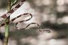 Cat-eyed Snake (Tris Enticknap) Tags: snake reptiles cateyedsnake leptodeiraannulata peru amazonbasin manubiospherereserve manunationalpark