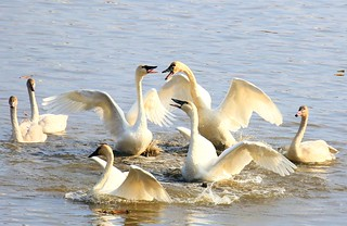 tundra swan food fight near Brownsville MN 854A5792