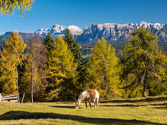 Haflinger mit Dolomiten (bayernphoto) Tags: suedtirol alto adige italien italia italy dolomiten rosengarten bozen langkofel schlern herbst autumn fall foliage wein laerchen panorama berge alpen mountain ritten jenesien haflinger warm sonnig alpensuedseite eppan kaltern vino reben genuss abendlicht st magdalena zypressen sueden south dolce vita erdpyramiden schloss burg