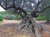 Olivo milenario. Alcanar (Tarragona) (Luis Mª) Tags: tarragona alcanar olivo