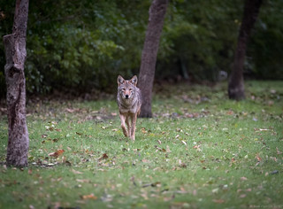 Coyote Approach - 4