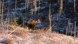 ''La-Bas!'' Orignal-Moose