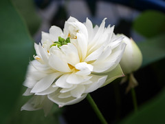 Sacred Lotus 'White Maldives' Wahgarden Thailand 12 (Klong15 Waterlily) Tags: whitemaldives lotus sacredlotus thailotus flower lotusflower wahgarden