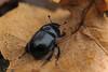 Mistkäfer (DianaFE) Tags: käfer mistkäfer insekt blatt makro macro tiefenschärfe dianafe dianae