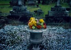 goodbye Kodachrome  #230 (lynnb's snaps) Tags: 35mm kodachrome kodakfilm trip35 cemetery colour film kodachrome64 reversal olympustrip35 pointandshoot gravestones flowers couleur ©copyrightlynnburdekinallrightsreserved