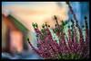 Erika (P.Höcherl) Tags: 2017 niklon d800 yongnuo 50mm18 erika nabburg oberpfalz bayern deutschland bokeh warm upperpalatinate bavaria germany autumn sunset sonnenuntergang herbst