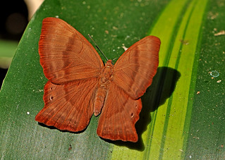 Abisara echerius - the Plum Judy (dry season form)