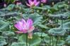 Lotus (Eustaquio Santimano) Tags: lotus bali indonesia cafe ubud purity body speech mind buddhist symbolism pura taman saraswati temple