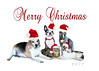 Pet Christmas (Jenny Onsager) Tags: pets holidaypets petchristmas beagle bostonterrier shihtzu cats domesticcats santahats creativecards christmascards