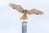 Kestrel (M Hooper) Tags: malabarnationalpark maroubra beach kestrel