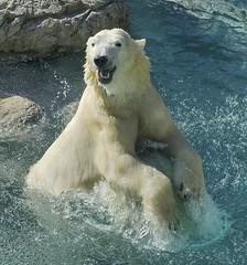 Happy 18th Birthday Anana (ucumari photography) Tags: ucumariphotography polarbear ursusmaritimus oso bear animal mammal nc north carolina zoo osopolar ourspolaire oursblanc eisbär ísbjörn orsopolare полярныймедведь anana dsc0726 specanimal 北極熊 specanimalphotooftheday