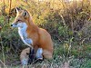 Red Gold (marylee.agnew) Tags: red fox canine vulpes wildlife gold nature flowers prairie outdoor light