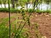Carex sprengelii (John Scholze) Tags: carex sprengelii wisconsin sedge