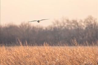 Short-Eared Owl 4