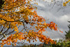 Maple Leaves (Dave In Oregon) Tags: maple japanesemaple clouds color fallcolor fall trees nature oregon walnuthill