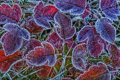 Frosty Morn (Ken Mattison) Tags: frost leaves color colours redandblue icy closeup fallcolors fall autumn nature panasonic panasoniclumix fz1000 parks milwaukeecountyparks whitnallpark oakleaftrail midwest wisconsin usa outdoor