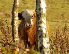 cattle autumn (1) (Simon Dell Photography) Tags: highland cattle cow behind tree hiding simon dell photography sheffield shirebrook s12 valley hackenthorpe old new pictures autumn winter colors