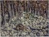 CONEJO (BLAMANTI) Tags: conejo conejos roedores mimetizado camuflaje viñedos viñas viticultura vinos rabbit lapin hase canon canonpowershotsx60 jerezdelafrontera