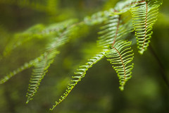 Fernilicious (Jutta Sund) Tags: dof fern green forest