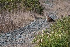California Quail (phoca2004) Tags: bird bodega california californiaquail callipeplacalifornica d90 esteroamericano nikon sonomacounty gamebird bodegabay unitedstates us