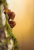 Tiny mushrooms on the tree (Giuseppe Moschetti.) Tags: giuseppe moschetti nikon d810 tree mushrooms autumn amazing countryside forest park zeiss milvus 135mm apo sonnar aposonnart2135 zf2 carlzeiss bokeh macro göteborg sweden sverige