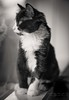 Portrait of a Kitten 2 (cottage studio images) Tags: cat kitten pet blackwhite tuxedo canon reflection