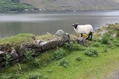 IMG_3282 (avsfan1321) Tags: ireland killaryfjord countygalway countymayo connemara wildatlanticway fjord lake water sheep