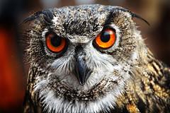 Bernsteinanuge (Kati471) Tags: animals brernsteinauge eule owl uhu