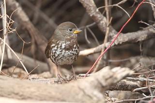 Fox Sparrow (Sooty) Poppoff Trail Sparrow Patch