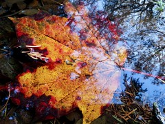 The Fallen Leave (Fotis Korkokios) Tags: autumn autumncolors fall fallenleaves rotterdam thenetherlands reflection orange red tree water pond decay