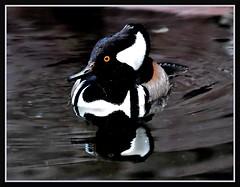 Shaker (VegasBnR) Tags: nikon sigma nature flamingohotel bird duck reflection 7200 702 strip vegas vegasbnr